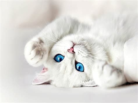 wallpaper with cat beautiful blue eyes cats wallpapers hd for desktop hd