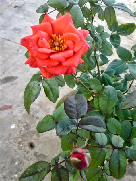 plants growing in my potted garden how to grow rose