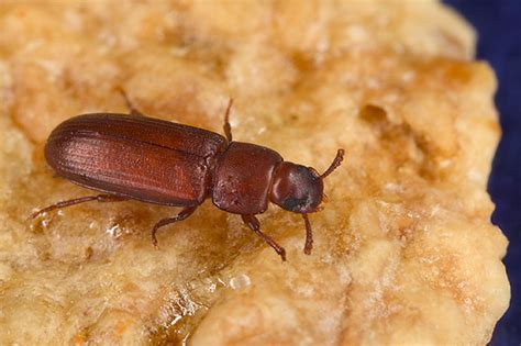 top five pantry pests to out for pest and