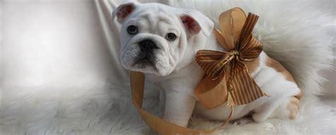 bulldog puppies ny bulldog puppies for sale ny nj pa ma va bulldog breeders