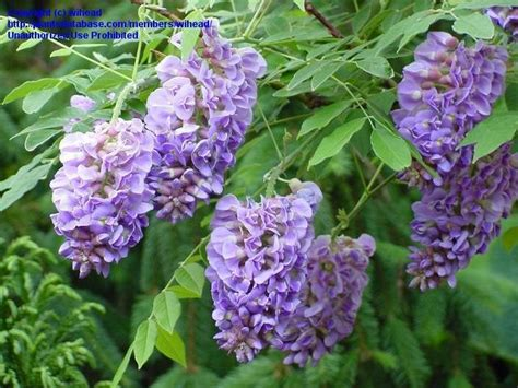 plantfiles pictures american wisteria amethyst falls wisteria frutescens by bungalow1056