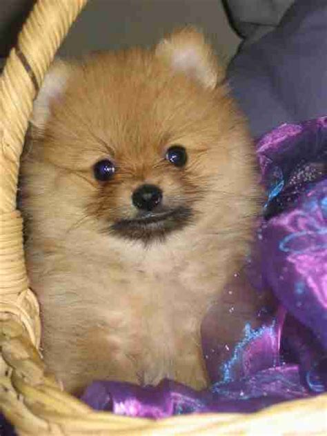 boo puppies for sale boo puppies for sale puppies for sale dogs for sale breeders kennel