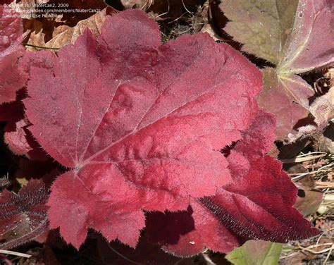 Southern Comfort Coral Bells by Plantfiles Pictures Coral Bells Alumroot Coralbells