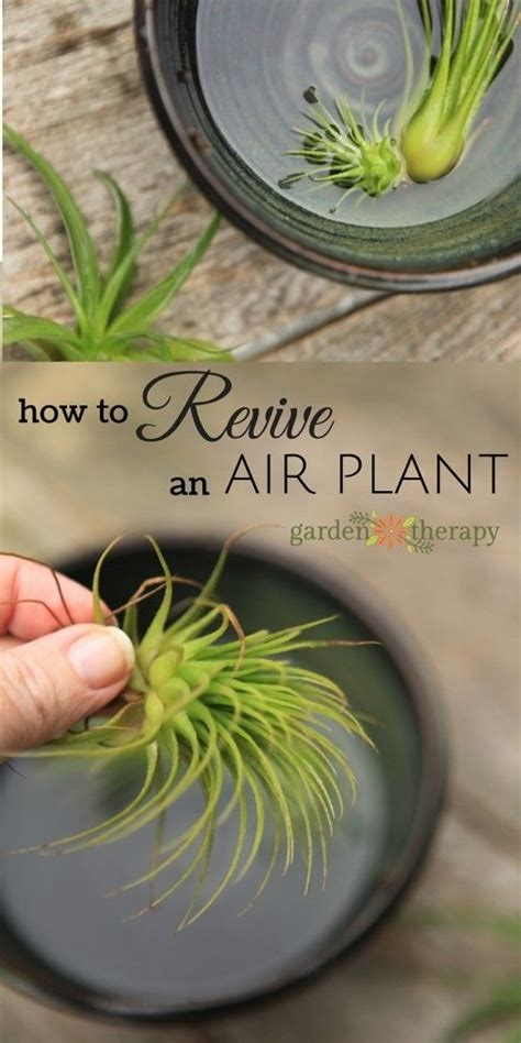 how to revive a dying plant best 25 air plants care ideas on pinterest air plants