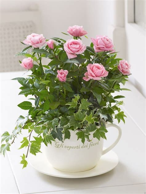 tea cup garden   super mini rose    big