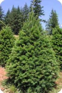 doug fir saint marks christmas trees supporting local