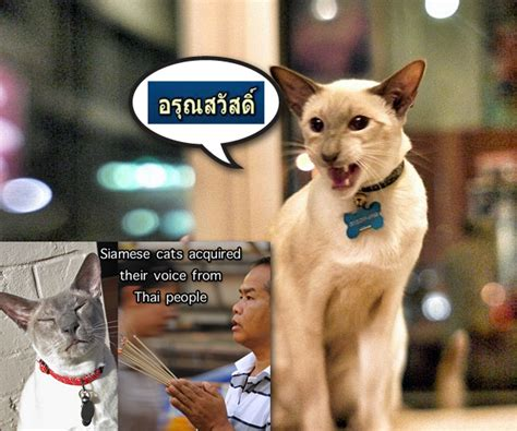 siamese cats acquired their voice from thai