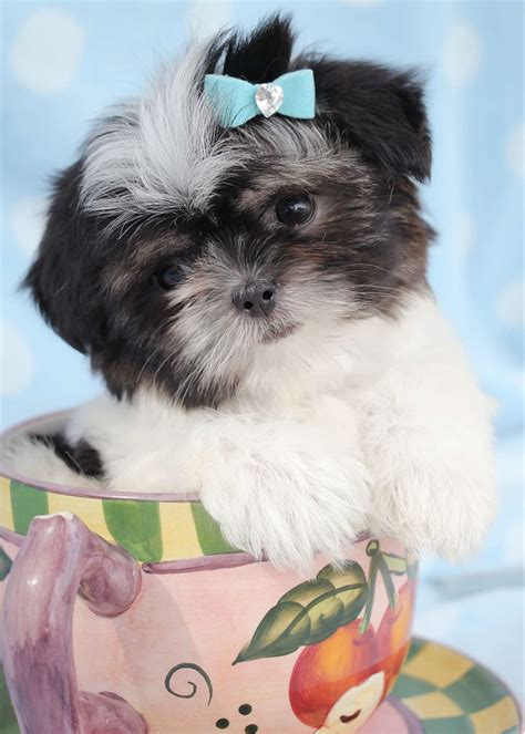 shih tzu puppies south florida shih tzu puppies for sale teacups puppies boutique