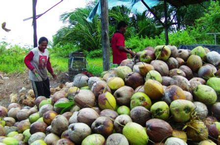 cara membuat minyak kelapa dari kopra membuat minyak kelapa dari kopra pelaku usaha kopra minta