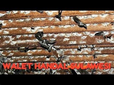 Pakan Burung Walet Rumahan sarang koloni walet doovi