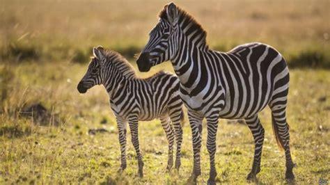 imagenes de animales cebra informaci 243 n sobre la cebra informacion sobre animales