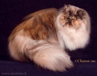 immagini di gatti persiani gatto persiano pelo lungo alla scoperta gatto persiano