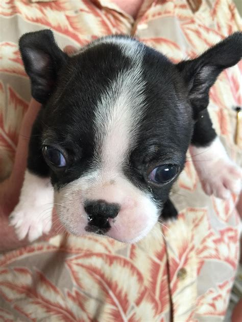 puppy refuses to walk my refuse to walk on leash any advice boston terrier at bterrier