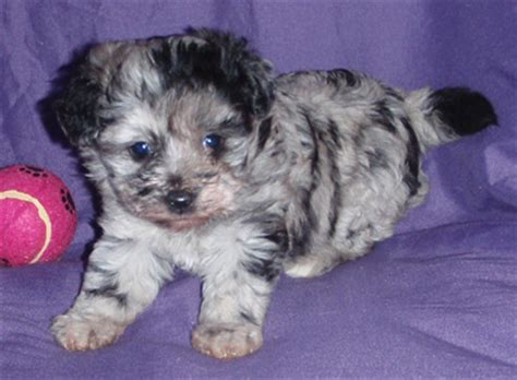 aussiepoo puppies miniature aussiedoodle aussiepoo puppies available for sale in california