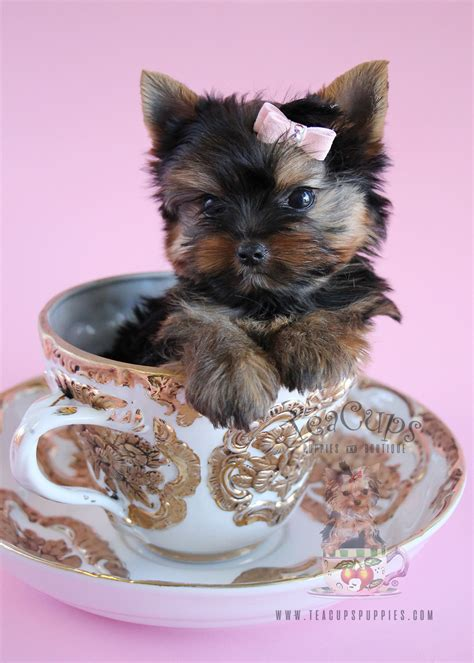teacup yorkie collars delightful yorkie puppies south florida teacups puppies boutique
