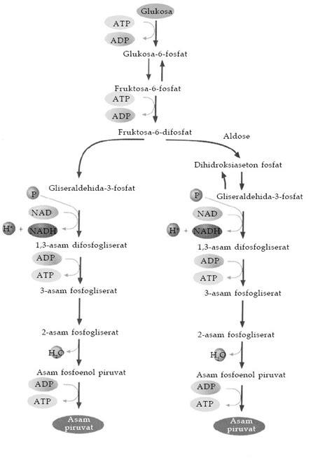 Proses dan Tahapan Glikolisis - Info Pendidikan dan Biologi