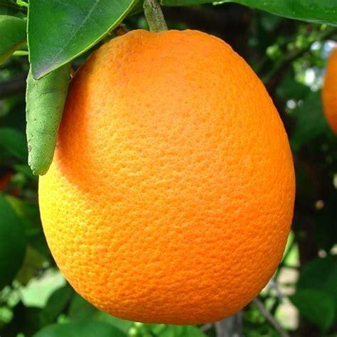 Orange Sale orange trees for sale