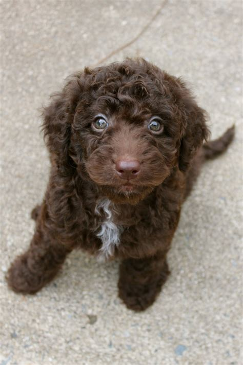 doodle labradoodles 25 best ideas about chocolate labradoodle on