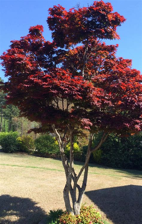 landscaping with maple trees backyard landscaping ideas japanese maple leaf tree infobarrel