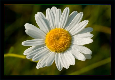 margherita fiori margherita 5 foto immagini macro e up macro