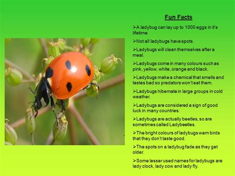 ppt the life cycle of ladybugs powerpoint presentation fun beetles facts for kids autos post