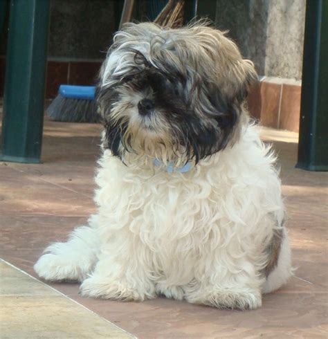 shih tzu colors pictures shih tzu photos pictures shih tzus