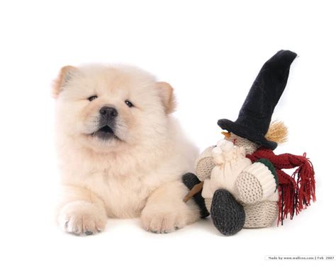 puppy chow chow chow puppy wallpaper puppies wallpaper 13936735 fanpop