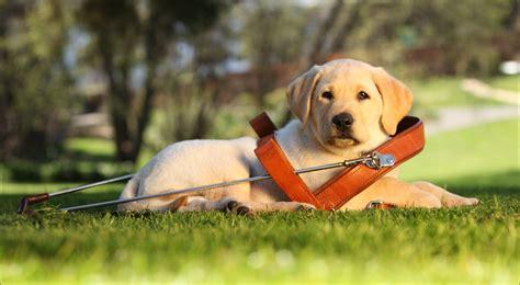 puppy love program guide dogs tasmania