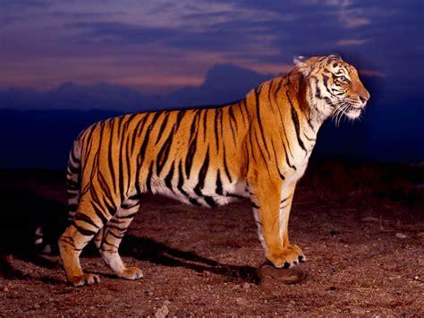 wallpaper  gambar harimau berukuran besar