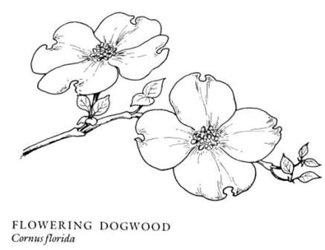 coloring page of dogwood flowers 17 best images about texas flowers on pinterest coloring