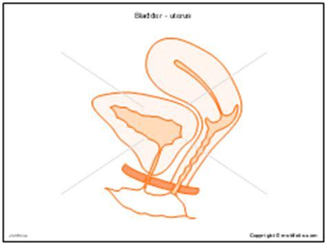 uterus bladder diagram pelvis drawing diagrams images in powerpoint
