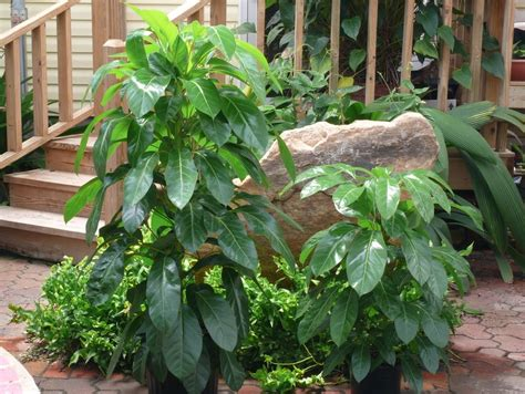 schefflera alpine junior common  umbrella tree