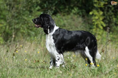 spaniel breeds spaniel breeds to the uk pets4homes