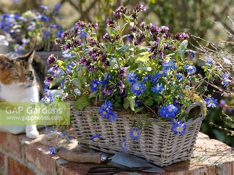 anemone blanda planting gap gardens basket planting of anemone blanda and