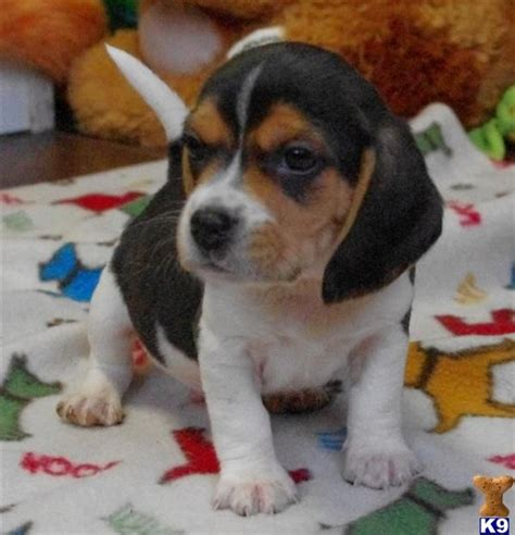 beagle boxer mix puppies for sale 1000 ideas about beagle mix on puppies chihuahua mix and lab mixes