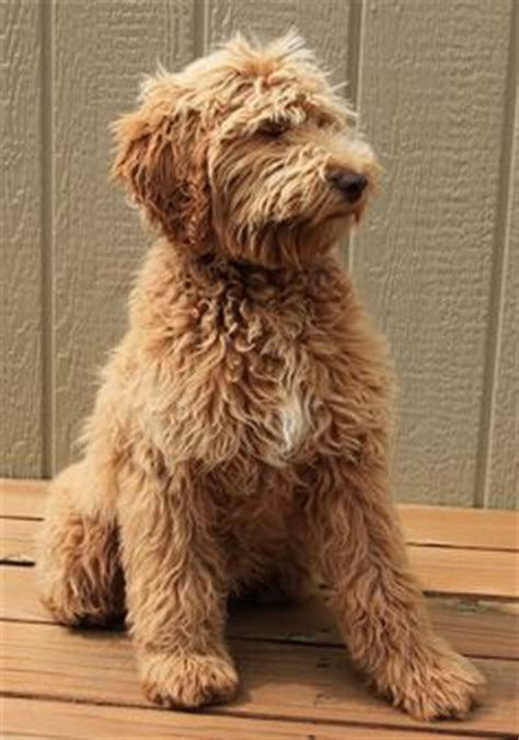 oodles dogs 1000 images about oodle labradoodle on labradoodle doodle and