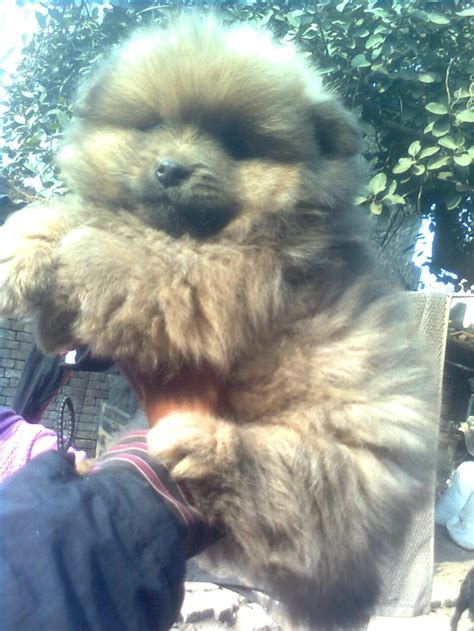 puppies for sale in shreveport la mini pomeranian puppies for sale in louisiana