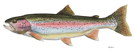 trout fish template