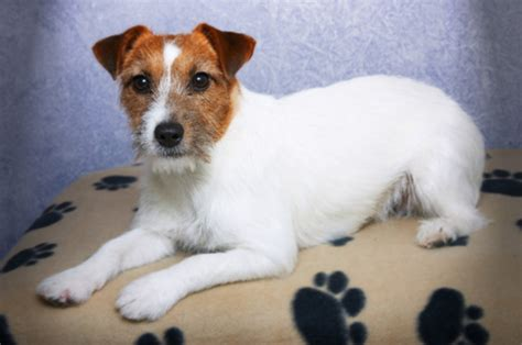 wishbone breed i wanna pet terrier