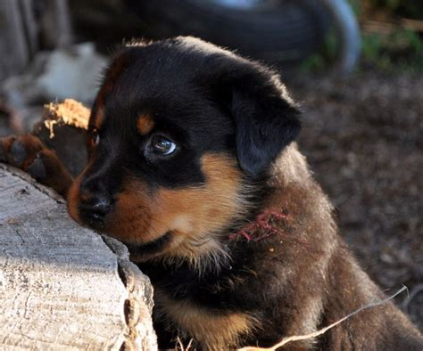 american rottweiler pictures american rottweiler puppies all puppies pictures and wallpapers pets