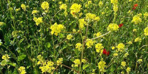 fiori di senape senape