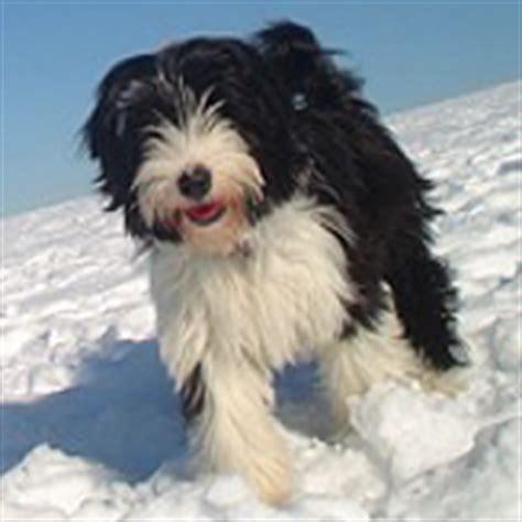 tibetan terrier puppies for adoption terrier adoption