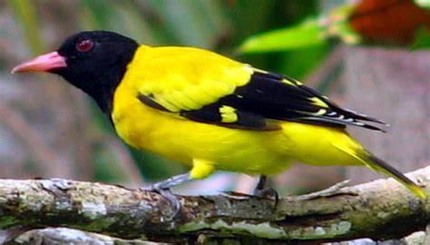 black hooded oriole oriolus xanthornus wiki image only