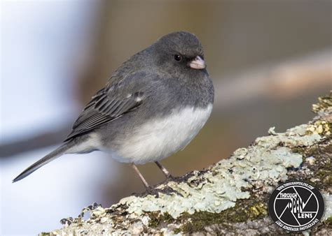 dark eyed junco through open lens