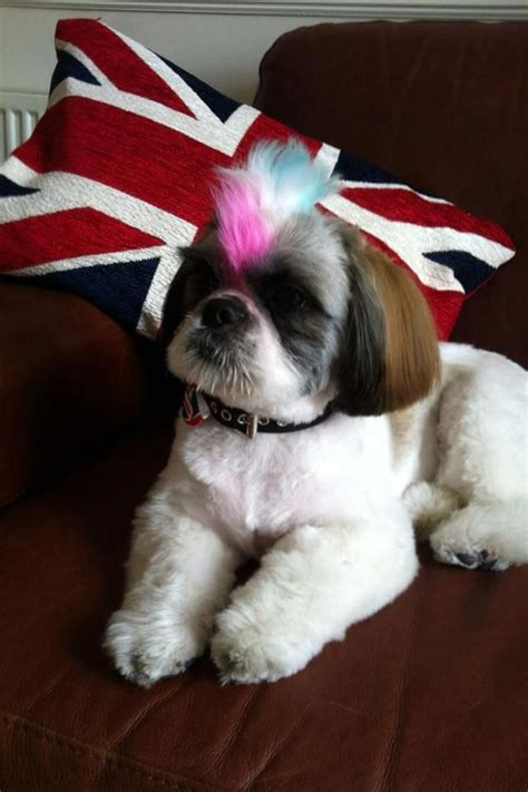 shih tzu mohawk haircut shih tzu mohawk haircut breeds picture