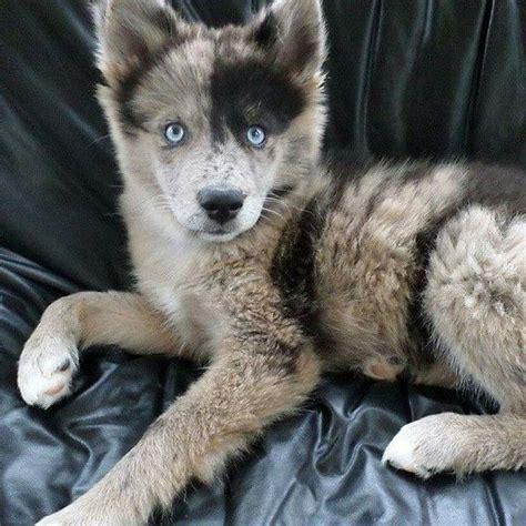 australian shepherd husky mix puppies 25 best ideas about australian shepherd husky on australian shepherd