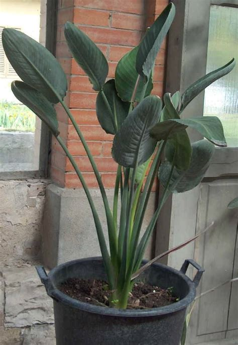 strelitzia reginae in vaso uccello paradiso piante da giardino uccello