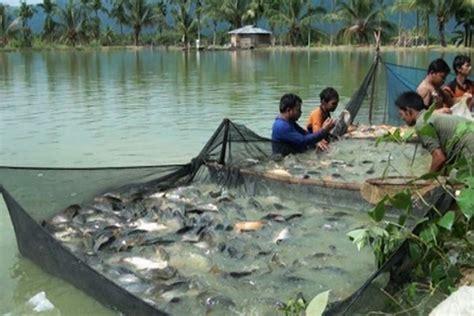 Keranjang Panen Ikan panen ikan antara sumatera barat