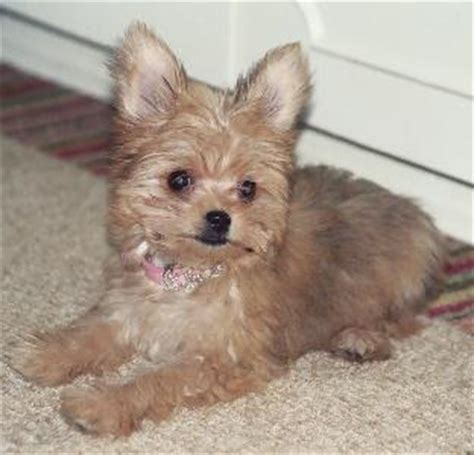 chorkie haircut styles best haircut for a shorkie search results hairstyle