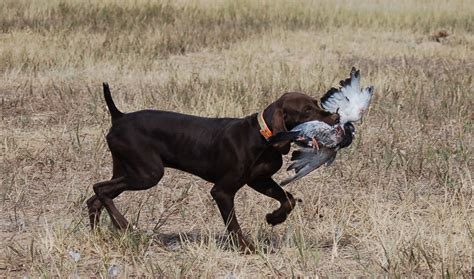 black german shorthaired pointer puppies black german shorthaired pointer puppies picture